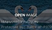 White swans love - Facebook cover