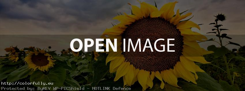 Field with sun flowers – Facebook cover