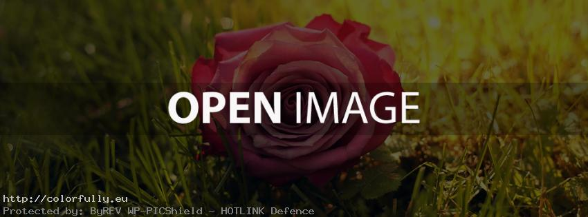 Beautiful red rose on the ground – Facebook cover