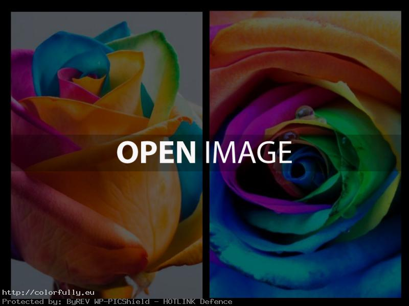Colorful – Rainbow rose