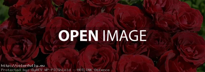 Red roses – Facebook cover