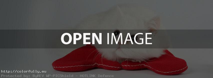 Sweet little white kitty – pussycat – Facebook cover