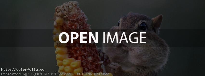 Sweet squirrel eat corn – Facebook cover
