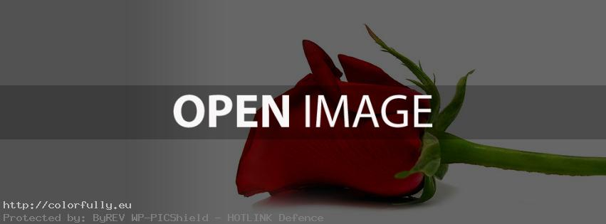 Beautiful red rose – Facebook cover