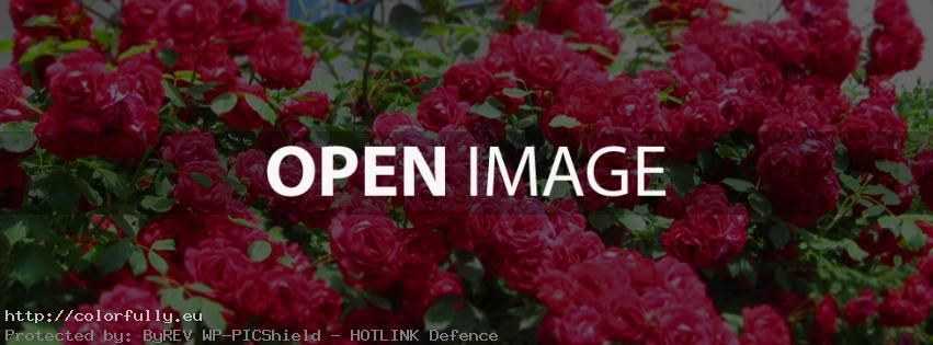 Best red roses facebook cover